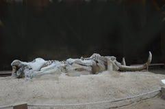 Mammoth Skeleton, Serbia, Viminacium Stock Photography