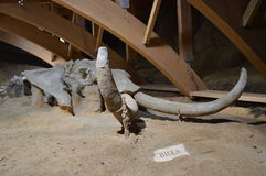 Mammoth Skeleton, Serbia, Viminacium Stock Photos