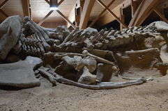 Mammoth Skeleton, Serbia, Viminacium Stock Images