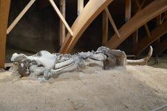 Mammoth Skeleton, Serbia, Viminacium Royalty Free Stock Image