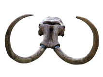 Mammoth skull Royalty Free Stock Image