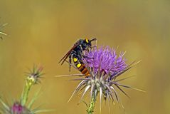 The Mammoth Solitary Wasp stock images