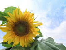 Mammoth sunflower against blue sky and clouds. A giant, Mammoth sunflower,with pollen on its front leaf, is in the lower left corner of the image. The background Royalty Free Stock Photo