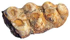 Mammoth teeth Royalty Free Stock Image