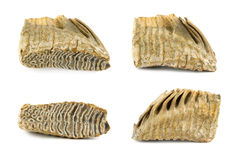 Mammoth tooth Royalty Free Stock Photos