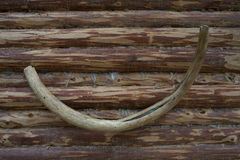 Mammoth tusk stock photography
