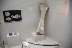 Mammoths ben och bete Kolossalt ben i det Antalya museet royaltyfri bild