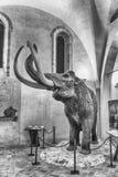 Mammut gekennzeichnet in der Ausstellung gehalten in Gubbio, Italien lizenzfreie stockbilder