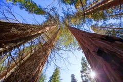 Mammutbäume in Kalifornien-Ansicht von unterhalb Stockfotos