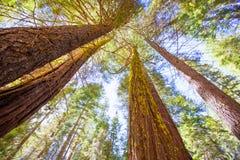 Mammutbäume in Kalifornien-Ansicht von unterhalb Lizenzfreie Stockbilder