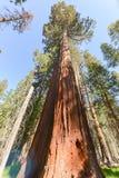 Mammutbäume in Mariposa Grove, Yosemite Nationalpark Stockfotografie