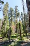 Mammutbäume in Mariposa Grove, Yosemite Nationalpark Stockfoto