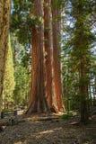 Mammutbaum - drei Schwestern MLS stockfotografie