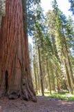 Mammutbaum im Mammutbaum-Nationalpark lizenzfreies stockbild