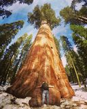 Mammutbaum nationales Park Stockfotos