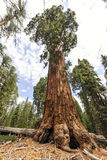 Mammutbaumbaum an riesigem Waldmuseum trailhead, USA Lizenzfreie Stockfotos