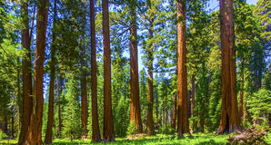 Mammutbaumbäume im Mammutbaum-Nationalpark nahe riesigem Dorfgebiet Stockfotografie