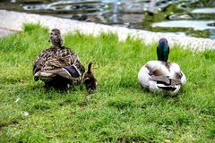 Mammy, Day ... and... duckling. Royalty Free Stock Images