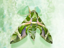 Mamoth moth. Moth mimicing like a big animal-mamoth  sitting on a green wall Stock Images