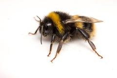 Mamroczącej pszczoła na białym tle Zdjęcie Stock