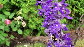 Mamroczącej pszczoła na purpurowym kwiacie zbiory