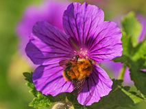 Mamroczącej pszczoły karmienie na bodziszka kwiacie Obraz Royalty Free