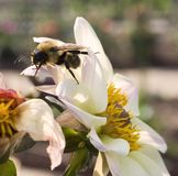 mamrocze kwiat pszczoły Obraz Royalty Free