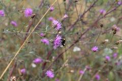 mamrocze kwiat pszczoły Fotografia Stock