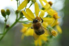 mamrocze kwiat pszczoły Obraz Stock