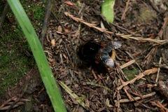 Mamrocze pszczoły furażuje w drewnach fotografia stock