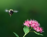 Mamrocze pszczoły na definitywnym podejściu kwiat Obrazy Royalty Free