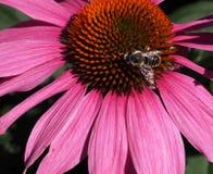 Mamrocze pszczoły Na purpura rożka kwiacie Purpuria Lub Echinacea Zdjęcia Royalty Free