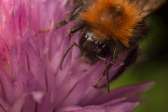 Mamrocze pszczoły na różowym kwiacie Obrazy Royalty Free