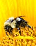 Mamrocze pszczoły Na słoneczniku Obrazy Royalty Free