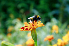Mamrocze pszczoły pozycję na pomarańczowym kwiacie zdjęcia stock