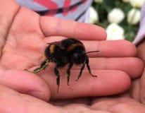 Mamrocze pszczoły w ręce Zdjęcia Stock
