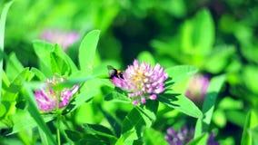 Mamrocze pszczoły zapyla koniczynowego kwiatu zbiory
