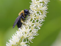 Mamrocze pszczoły, zbliżenie na kwiacie fotografia stock