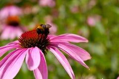 Mamrocze pszczoły Zdjęcia Royalty Free