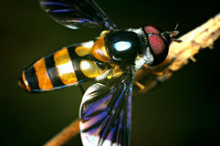 Mamrocze pszczoły Obrazy Royalty Free