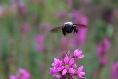 Mamrocze pszczoły bierze lot kwiat daleko Zdjęcie Royalty Free