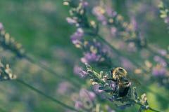 Mamrocze pszczoły na lawendzie Obrazy Stock