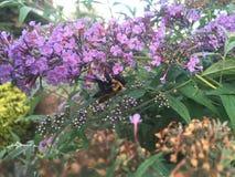 Mamrocze pszczoły na Motylim Bush Zdjęcia Stock