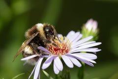 Mamrocze pszczoły na purpura kwiacie Fotografia Stock