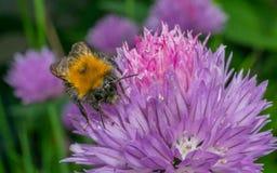 Mamrocze pszczoły na purpurowym kwiacie Obrazy Royalty Free