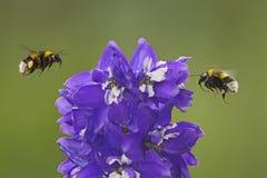 Mamrocze pszczoły w powietrzu Fotografia Royalty Free