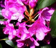 Mamrocze pszczo?y zapyla kwiatu fotografia royalty free