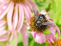 Mamrocze pszczoły Zbiera Polen Zdjęcie Stock