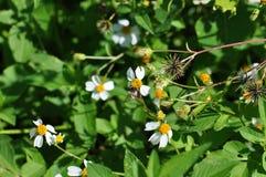 Mamrocze pszczoły zbierackiego pollen Fotografia Royalty Free