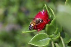 Mamrocze pszczoła Zbierackiego nektar Od kwiatu Obrazy Royalty Free